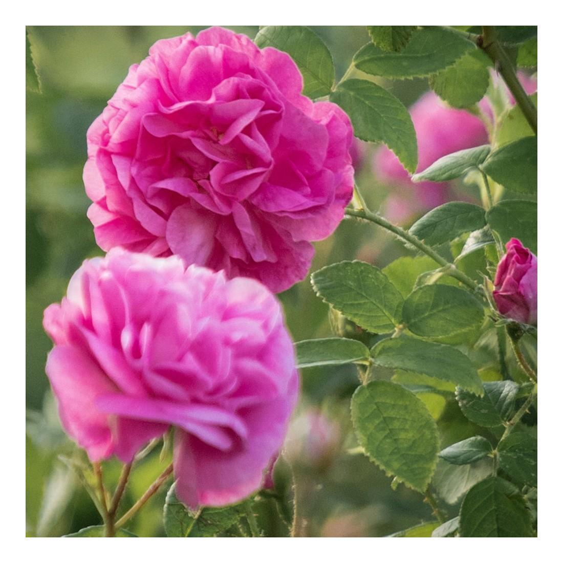 Rose BIO