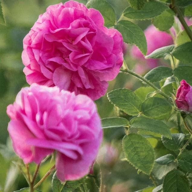 Rose Organic