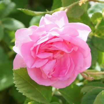 Rose-Based Skincare Products